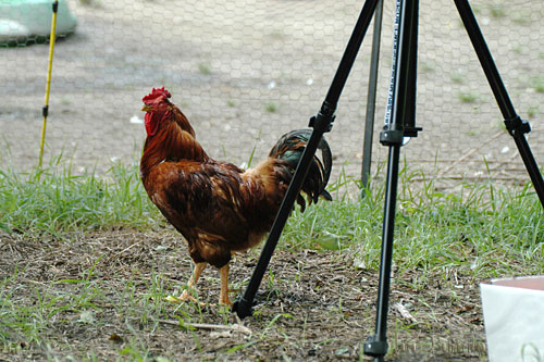 Red Rooster hasn't left the tripod yet!